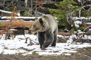 A grizzly bear walks in patchy snow .